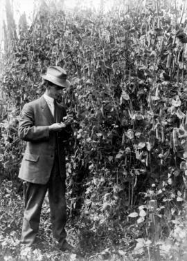 Charles Smith with pea plants