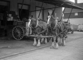 [Horses waiting for delivery carts to be loaded at Vancouver Breweries]
