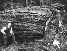 Cedar Tree, Diameter 9 feet at Base, length 215 feet on line of W. & V. E. Tramway