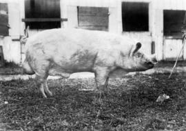 Light-colored swine by pens