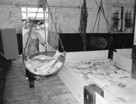 [Weighing halibut on a] Prince Rupert [dock]