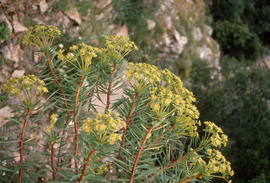 Euphorbia dendroides, Red Rocks - Piana