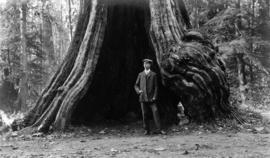 Man standing in the hollow of the Hollow Tree in Stanley Park