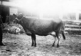 Dark-colored cow by cattle barn