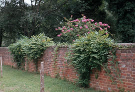 Lagerstroemia indica.: crepe myrtle