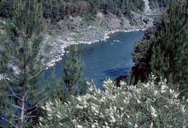 Pinus attenuata [at] Klamath River Oregon