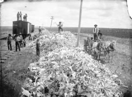 Buffalo bones gathered from the Prairie for shipment, at Gull Lake, N.W.T.