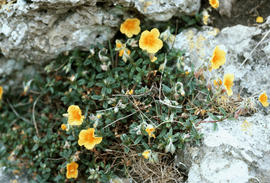 Helianthemum sp. : Great Orme, U.K.