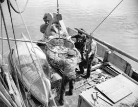 Scoop of herring boat on board [a fishboat in Prince Rupert]