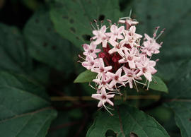 Clerodendrum bungei (Sichuan, China)