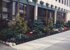 Summer flowers planted in May, 1986 [at 1477 West Pender Street]