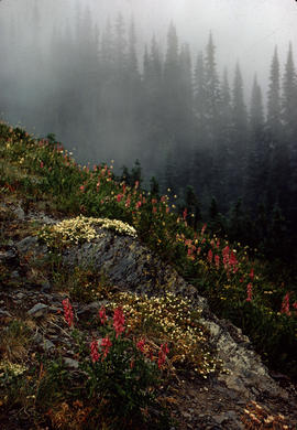 Alpine and Montane : sub-alpine meadow, Hurricane Ridge