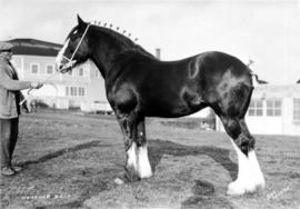 Heather Bell : [draft horse with handler]