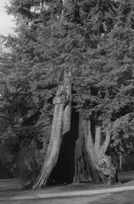 Stanley Park - Big Hollow Tree