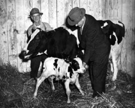 Men with cow and young calf in Livestock building
