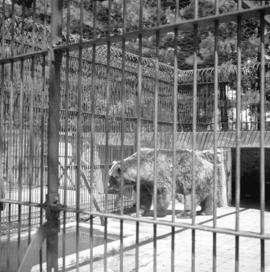 "[""Trotsky"", the Siberian bear, at the Stanley Park Zoo]"