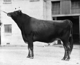 Dark-colored bull