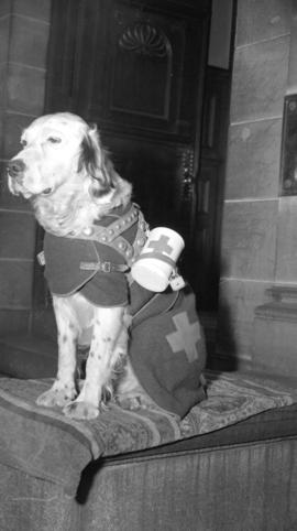 [Portrait of Eli, the Red Cross dog]