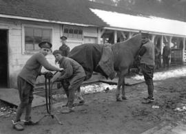 Military 68th C.F.A. [soldiers shoeing (?) horse]