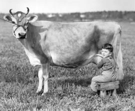 George Grauer, Jr. Milking One of the Prides of the Herd, Many Times a Grand Champion for J. Grau...