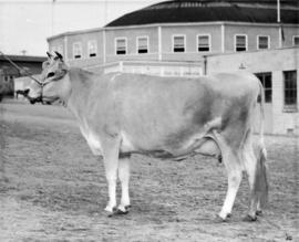 Light-colored cow by Livestock building