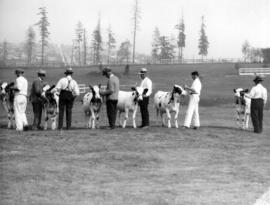 Line of men with cattle in livestock ring