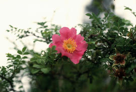 Rosa sp., Sichuan --> Omei wayside