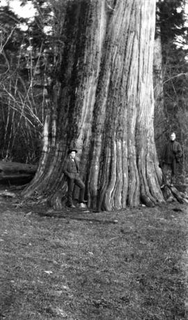 Big Tree Stanley Park