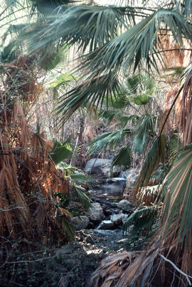 Landscape - general : Palm Canyon, California