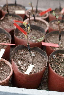 Propagation : bench grafting