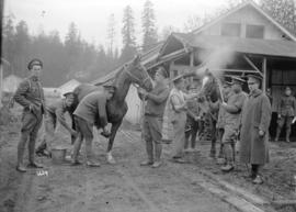 Remounts - Canadian Siberian expeditionary Forces - tending sick horses