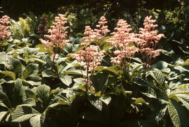 Rodgersia pinnata [at] Logan B[otanic] G[arden]
