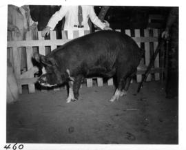 Large pig on display