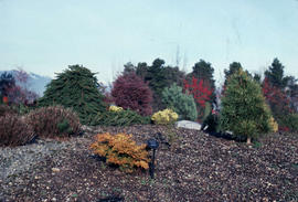 Landscape - historical : dwarf conifer section (VanDusen)
