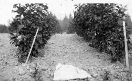 Cascara cultivated two years at Salmon Arm by W.E. Brett