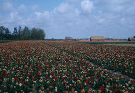 Landscape - general : tulip field (Holland)