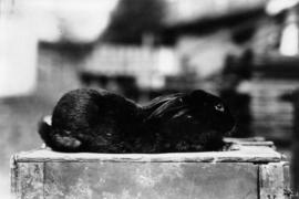 Black rabbit in pet stock competition