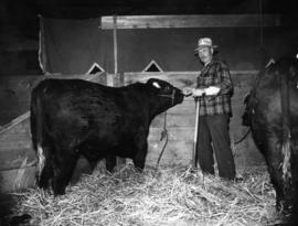 Man with black cattle in Livestock building