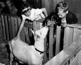 Children with white goat in Livestock building