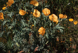Glaucium flavum : horned poppy, Calvi (abandoned church)