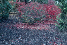 Fall colour, Euonymus alata