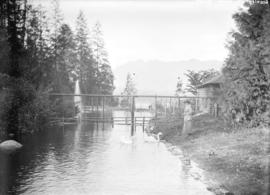 [Woman standing near swans in Stanley Park]