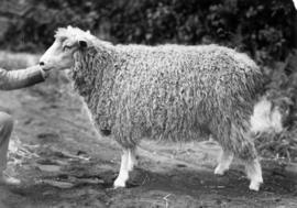 Lincoln ewe in sheep competition