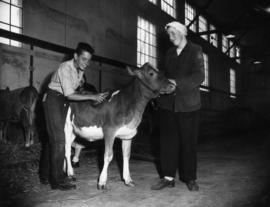 Boy and girl with young cattle in Livestock building