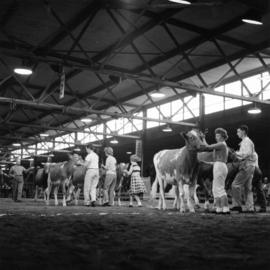Cattle on display in Livestock building