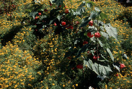 Landscape - bedding and borders : Abutilon hyb[rid]