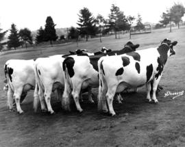 Cows on P.N.E. grounds