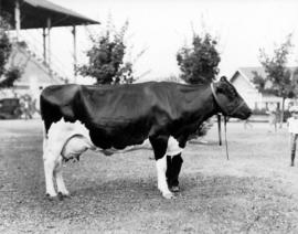 Cow with Grandstand in background