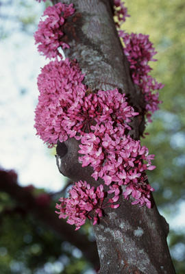 Cercis canadensis var texensis