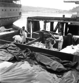 [Unloading fish at B.C. Packers Cannery]